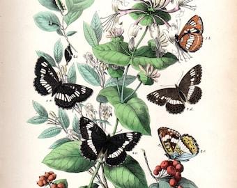 1882 Antique Butterfly Print Kirby Butterflies Natural History Entomology  Insect  Art Butterfly Art