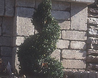 ON SALE Boxwood Plant 2014 Seeds