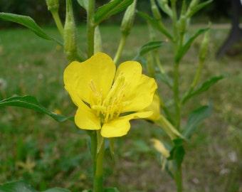 Evening Primrose Oil 1 oz. virgin organic 10% GLA