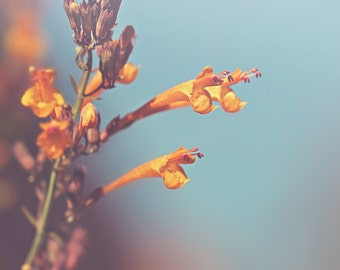 Apricot Hyssop Color Photo Print { orange, sprite, blue, sky, flower, sunshine, sunlight, wall art, macro, nature & fine art photography }