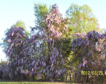 "2 Wisteria Trees(Wisteria Sinensis)4"" containers"