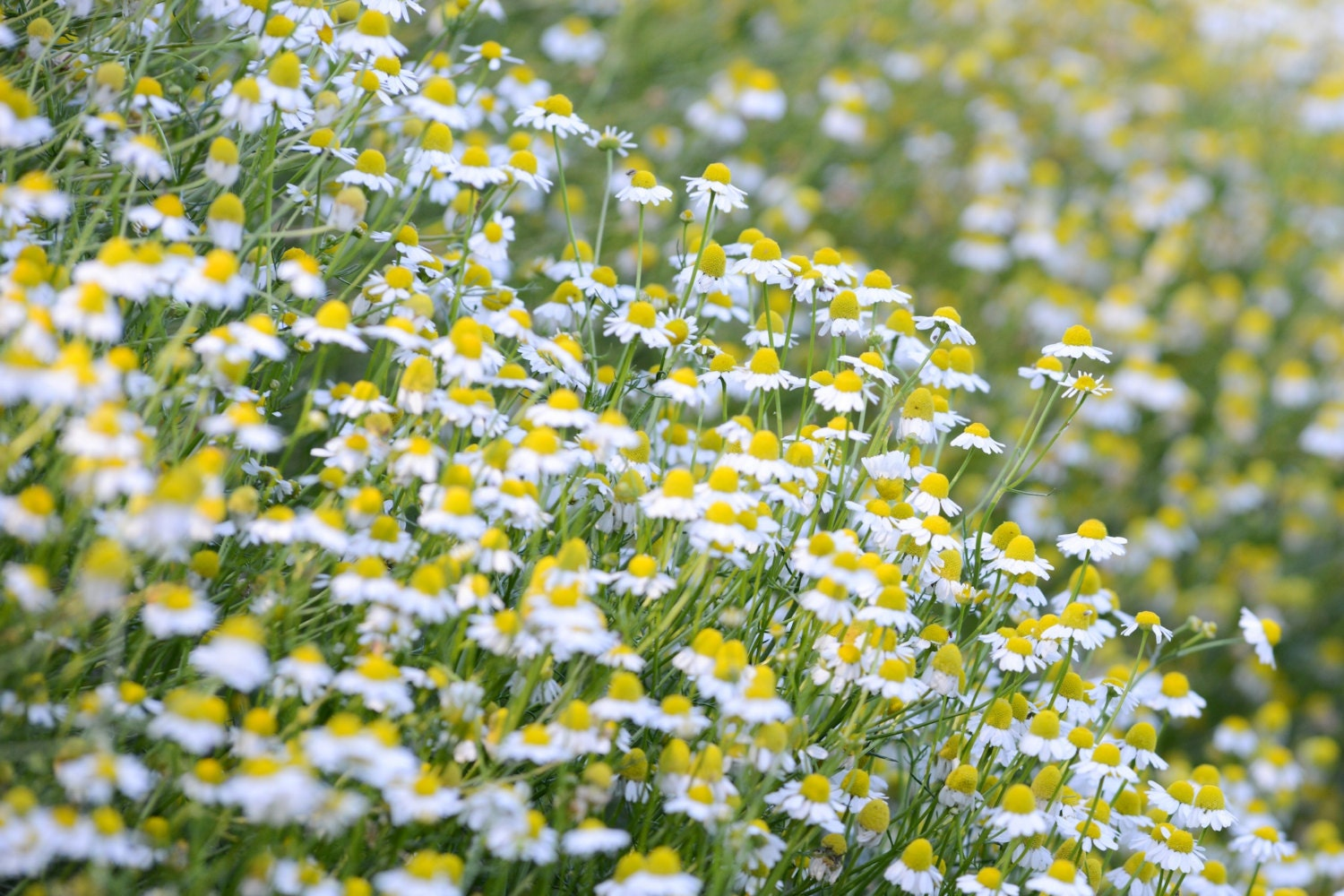 German Chamomile Seeds 1000 Certified Organic Non GMO