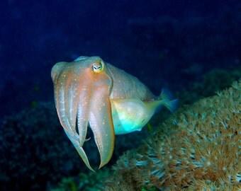 Cuttlefish Original Photograph - Nautical Home Decor - printed on Aluminum  16x20