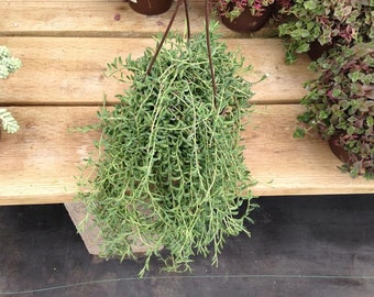 Mature Succulent Plant String of Bananas or Senecio Radicans Glauca. Perfect for hanging baskets and trailing bouquets.