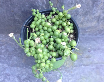 Succulent String of Pearls Plant