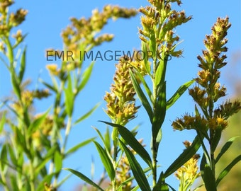 Goldenrod Plant Photo Print // 5x7 // Nature Photography