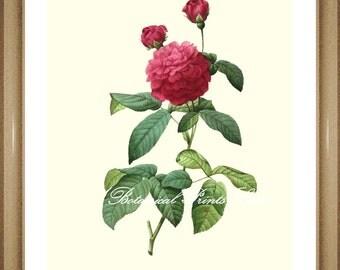 "Roses Print No.4. Botanical Prints. Vintage Rose Print. Roses. Antique Roses Art. 8x10"" 11x14"""