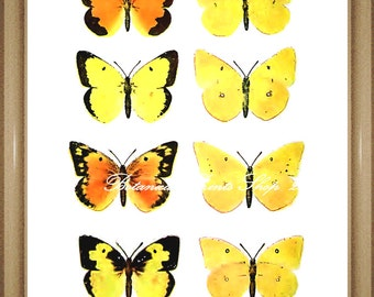 Butterfly Print. Yellow Wall Art. Orange Sulphur. Butterflies Print. 8x10""