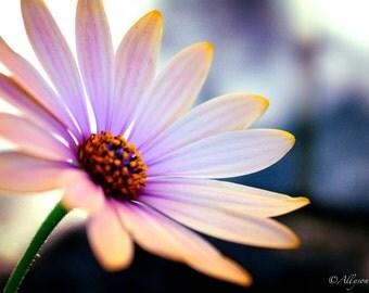 Pale Yellow Daisy