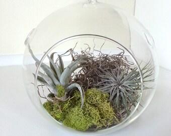 tillandsia moss hanging terrarium bubble