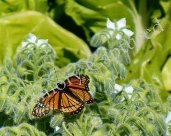 Nature Photography Monarch Butterfly Flora and Fauna Digital Download Inspirational Home Decor Photo