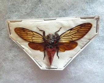 "Spread Huechys incarnata ""Red Devil"" Cicadas"