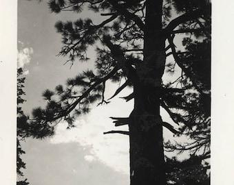 vintage photo 1940 Female Photographer Yosemite Scotch Fir Tree Silhouette CA