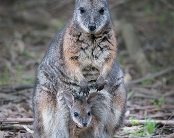 Mother Wallaby and Joey photo print - 5x7 OR 8x10 inches - Fine Art nature decor, nursery art, baby animal, Australian wildlife