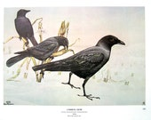Rex Brasher Print - Large Vintage 1962 Bird Print - Common Crow and Common Crow with Pawpaw Tree
