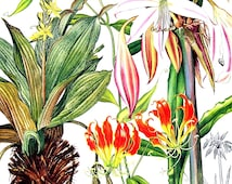 African Star Grass, Flame Lily, River Lily  - Botanical Print - Vintage Flower Print 1988 p66