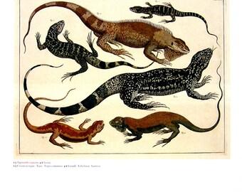 Common Tagus - Lizard - Seba Book Print - Cabinet of Natural Curiosities - 13 x 9