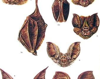 Bat Print - 1973 Encyclopedia Book Page