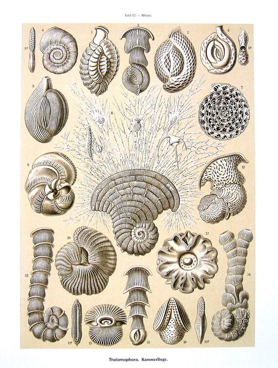 Haeckel Print - Discoidea, Thalamophora - 1990 Vintage Animal Print - 12 x 9