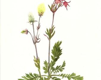 Flower Print - Prairie Smoke Plant - Vintage Art Print - Botanical Book Plate, Print - Wild Flowers of America - Dryad - Mary Vaux Walcott
