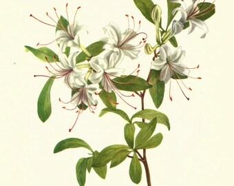 Flower Print - Smooth Azalea - Vintage Wild Flower Print - Botanical Book Print - Wild Flowers of America - Rhododendron - Mary Vaux Walcott
