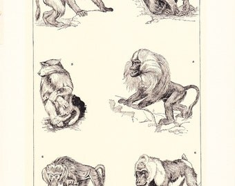 1903 Animal Print - Baboons - Vintage Antique Home Decor Book Plate Art Illustration for Framing 100 Years Old