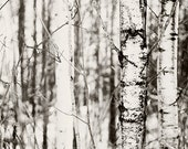 Modern winter black and white photo - Land of the Silver Birch 10 x8 fine art image - wall art photography home decor
