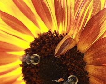 Sunflower with Honeybees Yellow Orange Autumn Colors Nature Photo