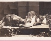 """Ca. 1910 """"3 Cats Drinking"""" Real Photo Postcard - 1505"""