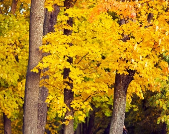 Autumn nature wall art decor, bright yellow colors real autumn photo, yellow leaves, bright autumn, print you can frame for your wall