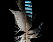 Eurasian Jay Feather - Bird - Fine Art Photograph - Nature Photograph - Black Background - Blue - Stripes