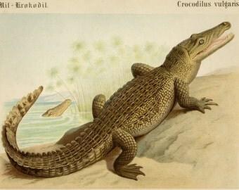 "1870 Antique Crocodile Print Antique Animal Print  Reptile Alligator Custom Mounted 15x13"""