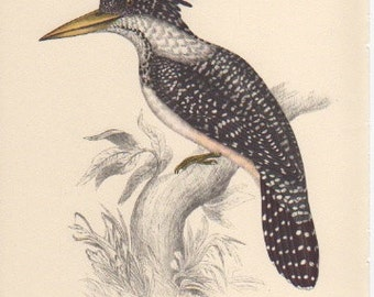 """Spotted Kingfisher, John Gould Bird Print, Plate 14 from """"Tropical Birds"""" published 1948"""
