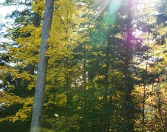 Art photography: yellow fall trees mystical colourful sunbeams. Magical forest tall trees. Zen art, cottage decor. Pretty Mothers Day gift.