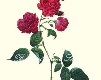 """Antique rose print. Rose Picture. Rose Print No 9. Flower Picture. Rose Art. 8x10"""" 11x14"""""""