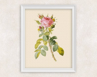 Pink Rose BOTANICAL ART Print - 8x10 Vintage Botanical Artwork - Antique Flower Art - Item #126