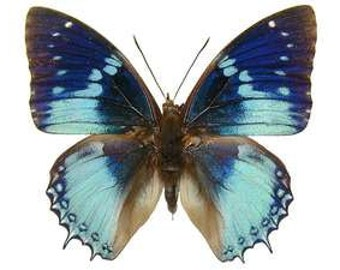 Real Charaxes smaragdalis Butterfly, spread for your project or laminated or unmounted