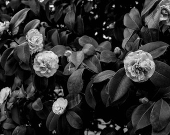 Spring blooming hedges in Vancouver / Impressive CAMELLIA  // photography / wall art / black and white