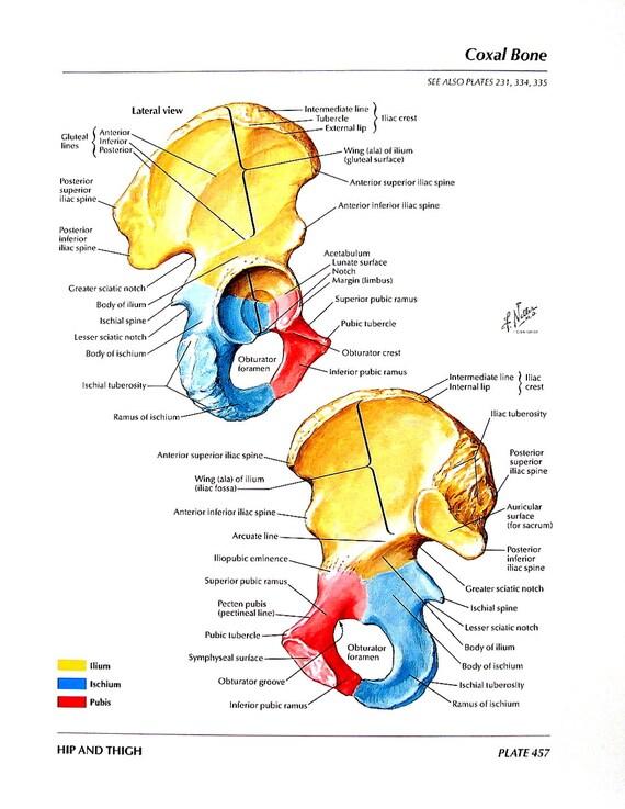 Coxal bone anatomy