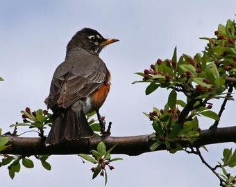Robin Photograph, Bird in Tree, Nature Print, Bird Photograph, Michigan Print, Brown And Gray, Powder Room, Bathroom Decor, Spring Time