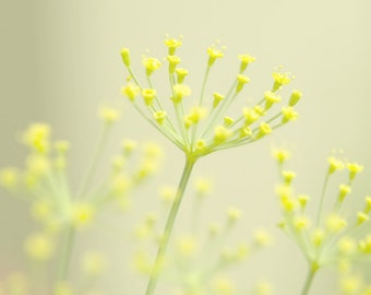 Still life yellow flowers minimalist mustard yellow spring buds satellite fireworks simple decor butter yellow floral print 8x8
