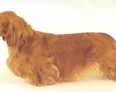 DACHSHUND Red Longhair DOG on 6 inch Fabric Squares for Quilting and Sewing