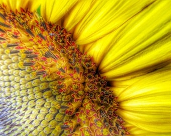 Sunrise . vibrant bold colorful nature sunflower macro hdr photograph visionary wall art,office,home yellow sunny spring happy inspirational