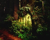 Magical Forest Redwood Woodland Photography Landscape Print Large 13x19 Wall Art Home Decor