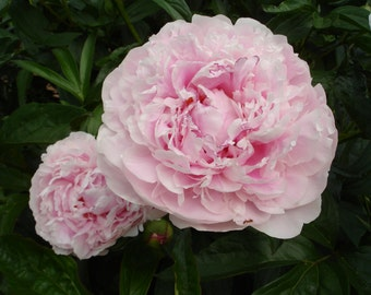 PINK PEONY Photograph  - Floral - still life garden art  -  5x7 Nature Photography - MORE sizes available