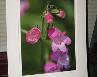 Matted, Blooming, Pink, Beard-tongue, Flower, Fine Art, Photograph, Print, Glossy, OOAK
