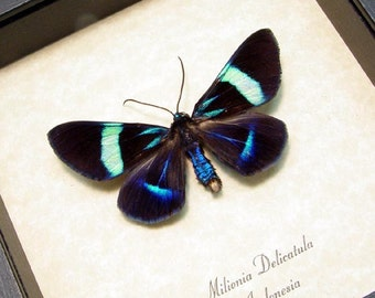 Real Framed Milionia Delicatula Day Flying Moth  8243
