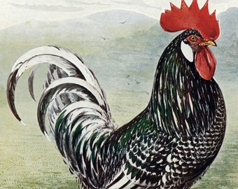 1902 Antique Color Print of Ancona Chickens