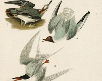 1903 Antique Chromolithograph of Birds of Canada and the US. Plate 16. Northern Phalarope, Bonaparte's Gull, Wilson's Tern, Herring Gulls