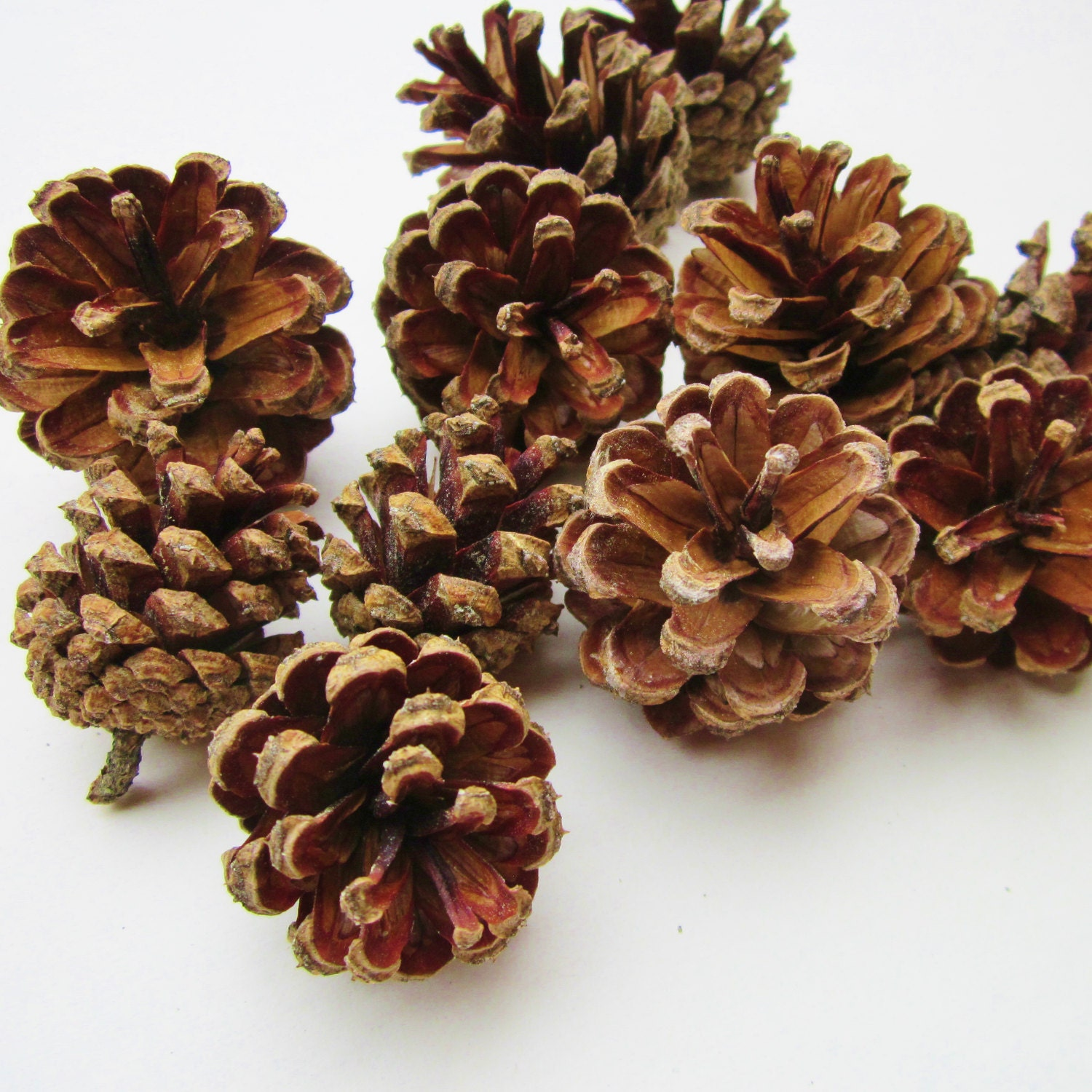 Pine cones nh woodlands small red pine cones nature craft for Small pine cone crafts